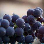 Weintrauben Trauben Traubenkernextrakt OPC oligomer PCO