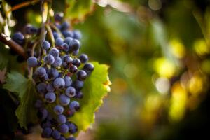 Mount Natural OPC Was ist OPC OPC ist eines der wirksamsten Antioxidantien OPC Herstellung