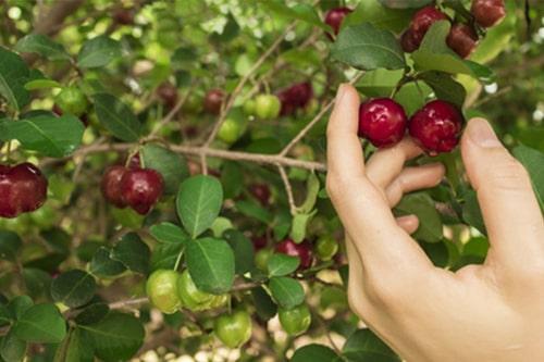 Acerola Kirsche pflücken Anbau Wachstum Herkunft Baum Strauch